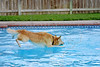 Dog 'Jake' Jumping into Pool,<br /> Golden Retriever Jumping after Ball in Swimming Pool