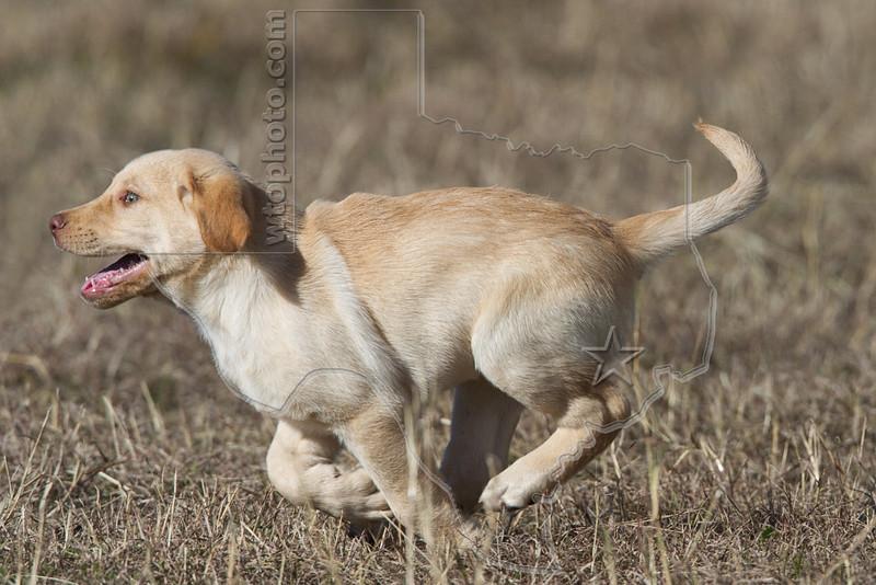 Puppy 'Junior' Running<br /> Yellow Lab Retriever Running