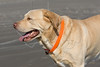 Dog 'Gus' at the Beach,<br /> Yellow Lab Retriever