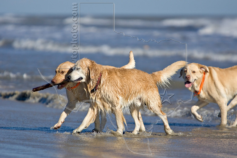Dogs 'Jake', 'Junior', and Gus' at the Beach,<br /> Golden Retriever and Yellow Labs at the Beach