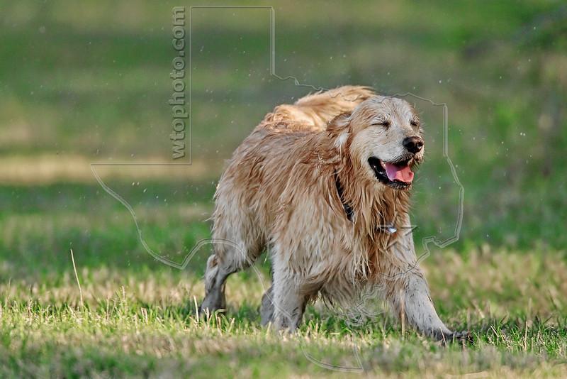 Dog 'Jake' after Sprayed by Skunk,<br /> Golden Retriever Sprayed by Skunk,