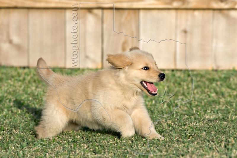 Puppy 'Buddy'<br /> Golden Retriever Puppy