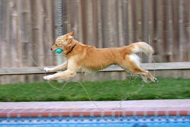 Dog 'Jake' Running AroundPool,<br /> Golden Retriever Running Around Swimming Pool