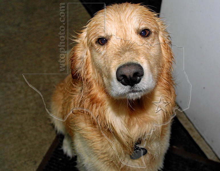 Dog 'Jake' Wet from Rain<br /> You're Leaving Me...Outside?! (even though I had a blast in the rain before you came home)