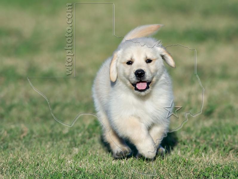 Puppy 'Willie'<br /> Golden Retriever Puppy