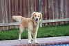 Dog 'Jake' by the Pool,<br /> Golden Retriever by the Pool