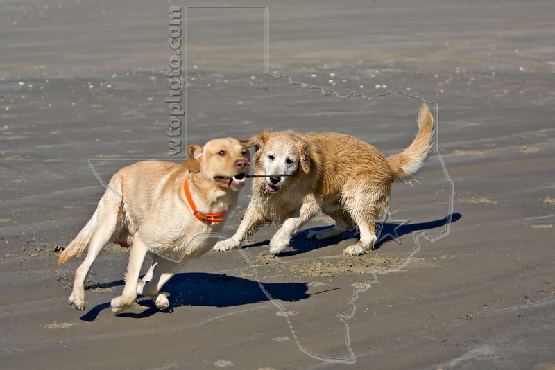 Dogs 'Jake' and 'Junior' at the Beach,<br /> Golden Retriever and Yellow Lab Retrieving Stick at Beach