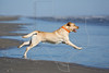 Dog 'Junior' at the Beach,<br /> Yellow Lab Retriever Chasing Stick at Beach
