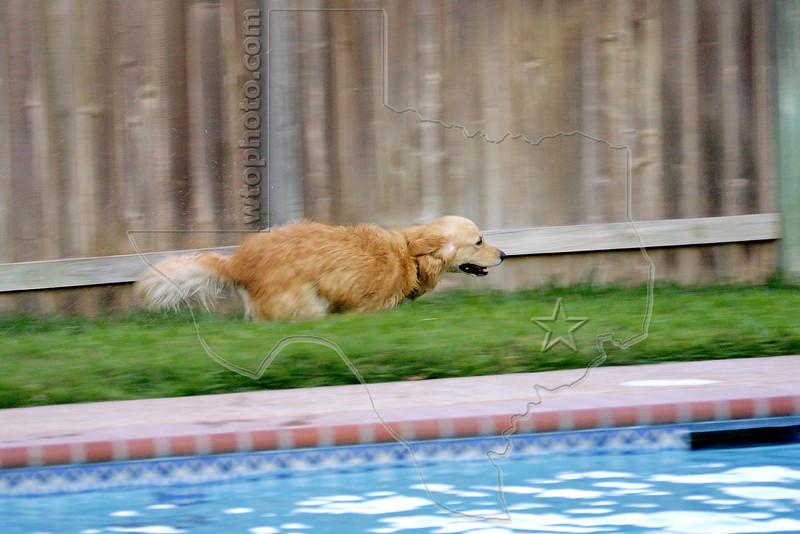 Dog 'Jake' Running around the Swimming Pool,<br /> Golden Retriever Running Around Swimming Pool