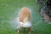 Dog 'Jake' Shaking off Water,<br /> Golden Retriever Skaking off Water