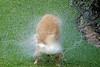 Dog 'Jake' Shaking off Water,<br /> Golden Retriever Skaking off Water