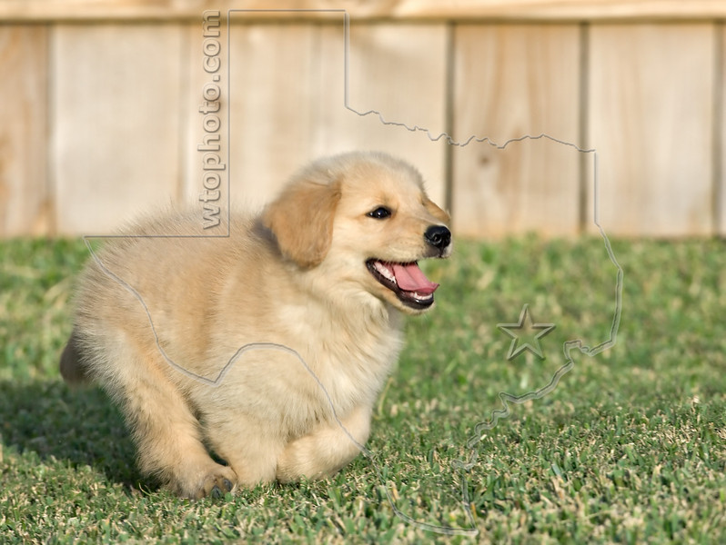 Puppy 'Buddy'<br /> Golden Retriever Puppy
