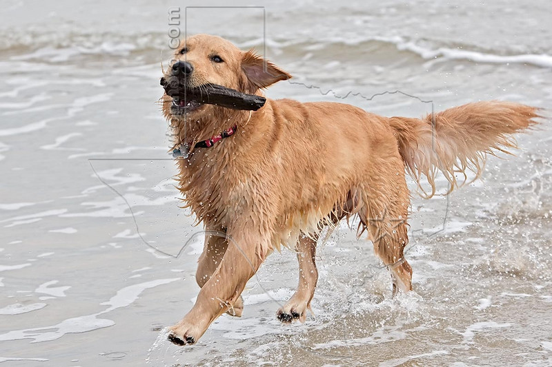 'Buddy' Playing at the Beach,<br /> Golden Retriever Dog at the Beach