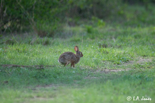 Rabbit_LAJ0363