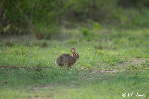 Rabbit_LAJ0364