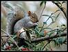 Grey Squirrel - Worthington Lakes, Wigan
