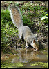 Grey squirrel takes a drink