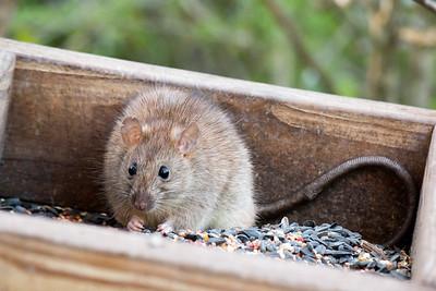 2016-03-25  Brown Rat