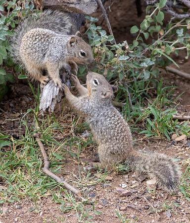 2019-09-07  Rock Squirrel