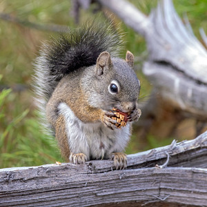 2020-09-20  Red Squirrel