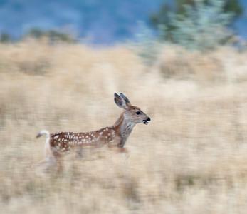 2017-09-17  Mule Deer