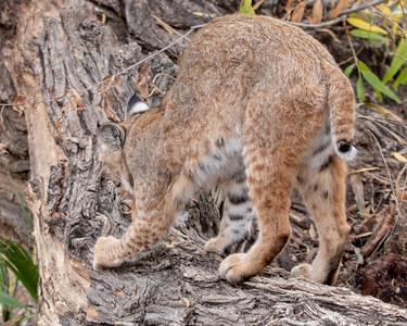 2019-12-07  Bobcat