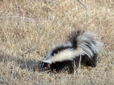 2020-01-19 Striped Skunk