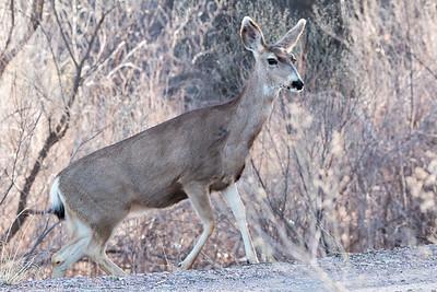 2017-03-13  Mule Deer