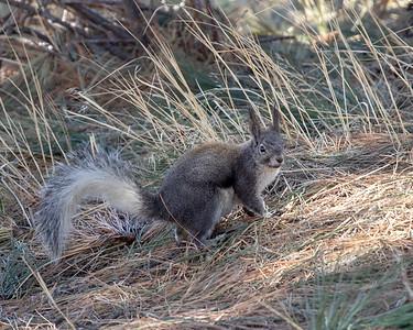 2021-04-03  Abert's Squirrel
