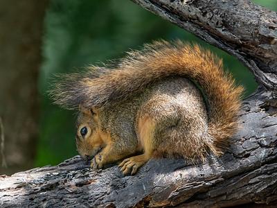 2019-04-15  Eastern Fox Squirrel