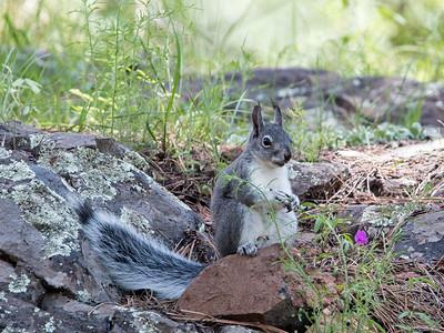 2017-08-06  Abert's Squirrel