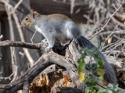 2019-01-20  Arizona Gray Squirrel