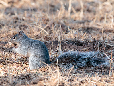 2018-01-28  Arizona Gray Squirrel