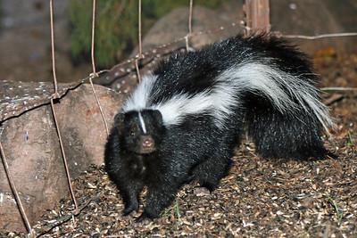 2015-10-10  Striped Skunk