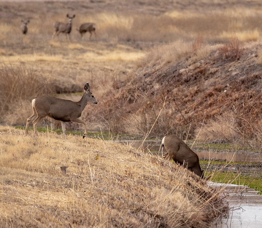 2020-01-20  Mule Deer