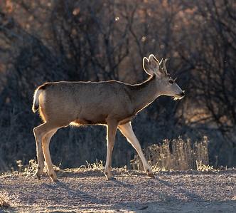 2020-01-17  Mule Deer
