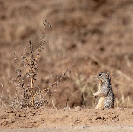 2020-01-20  Rock Squirrel