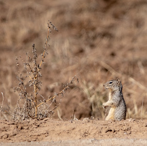 2020-01-20  Rock Squirrel