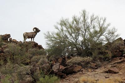 2015-06-27 Big Horn Sheep