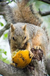 2016-03-28  Eastern Fox Squirrel