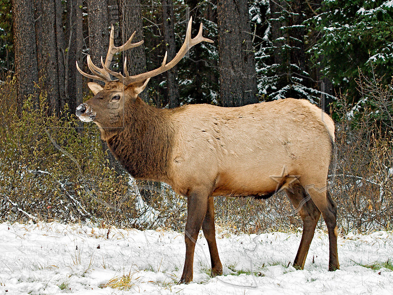Elk Grazing,<br /> Banff National Park, Alberta, Canada