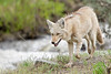 Coyote Running Through Brush,<br /> Yellowstone National Park<br /> Wyoming, USA