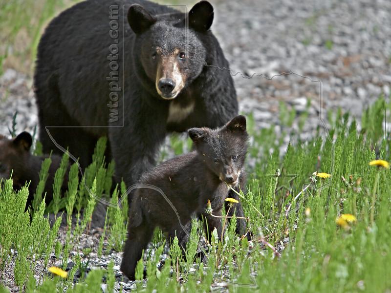 Black Bear Mother and Cubs,<br /> Near Medicine Lake,<br /> Jasper National Park, Alberta, Canada