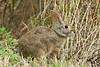 Swamp Rabbit, <br /> Brazos Bend State Park, Texas