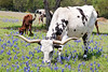 Longhorn Cattle Grazing Amongst Bluebonnets<br /> Washington County, Texas