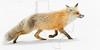 Red Fox on Snow, Beartooth Pass,<br /> Near Yellowstone National Park<br /> Wyoming, USA