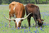 Longhorn Calf and Cow Grazing Amongst Bluebonnets<br /> Washington County, Texas