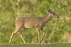 White-Tailed Deer, Doe,<br /> Brazos Bend State Park, Texas