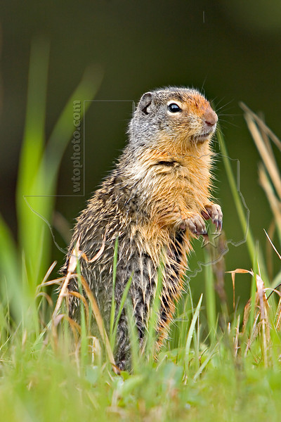 Columbian Ground Squirrel,<br /> Peter Lougheed Provincial Park,<br /> Alberta, Canada