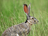 Black-tailed Jackrabbit,<br /> Nordheim, Texas